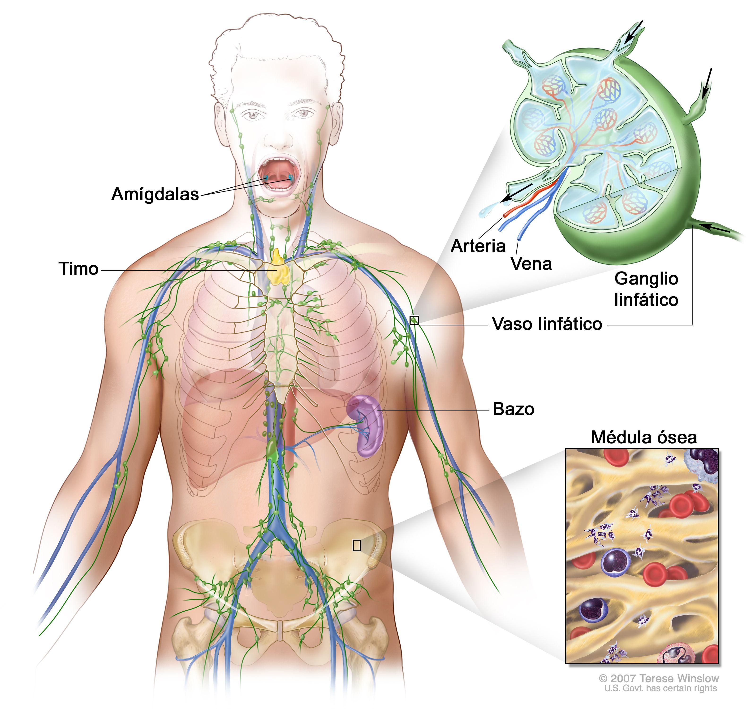 Sistema linfático qué es