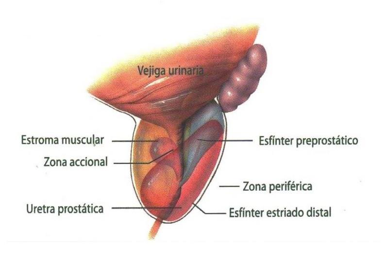 Partes próstata