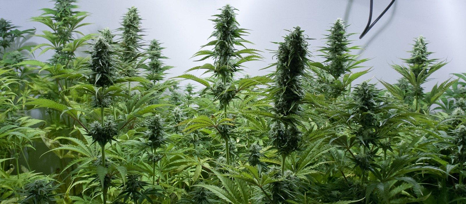 Cannabis sativa sativa