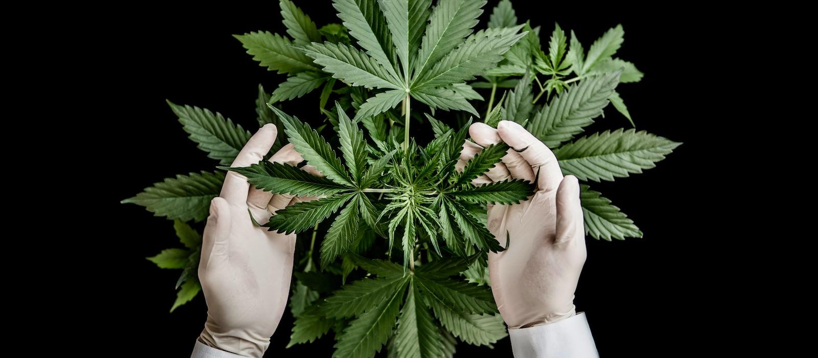 Cannabis sativa indica