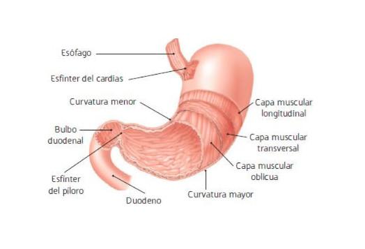 Partes estómago