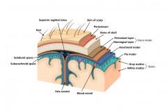 Aracnoides Cerebro Funciones Anatomia Y Patologias