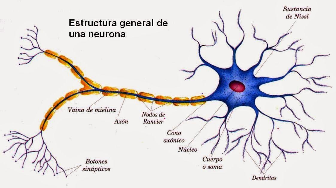 Anatomía de una neurona