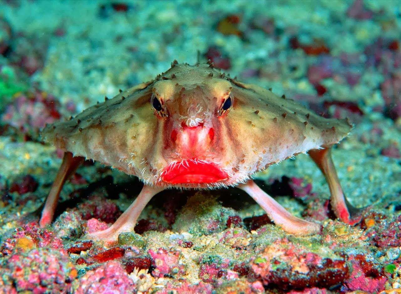 Pez murciélago labios rojos