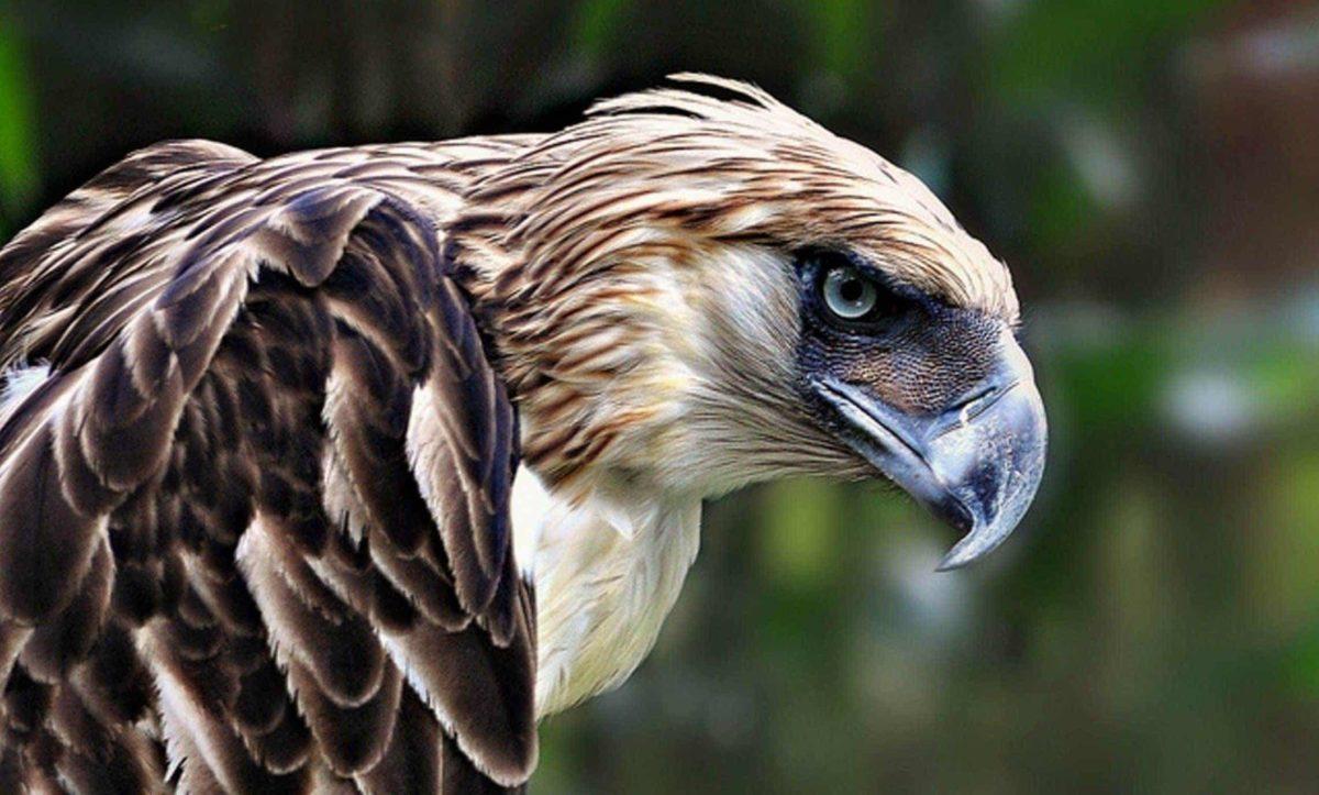 Águila come monos