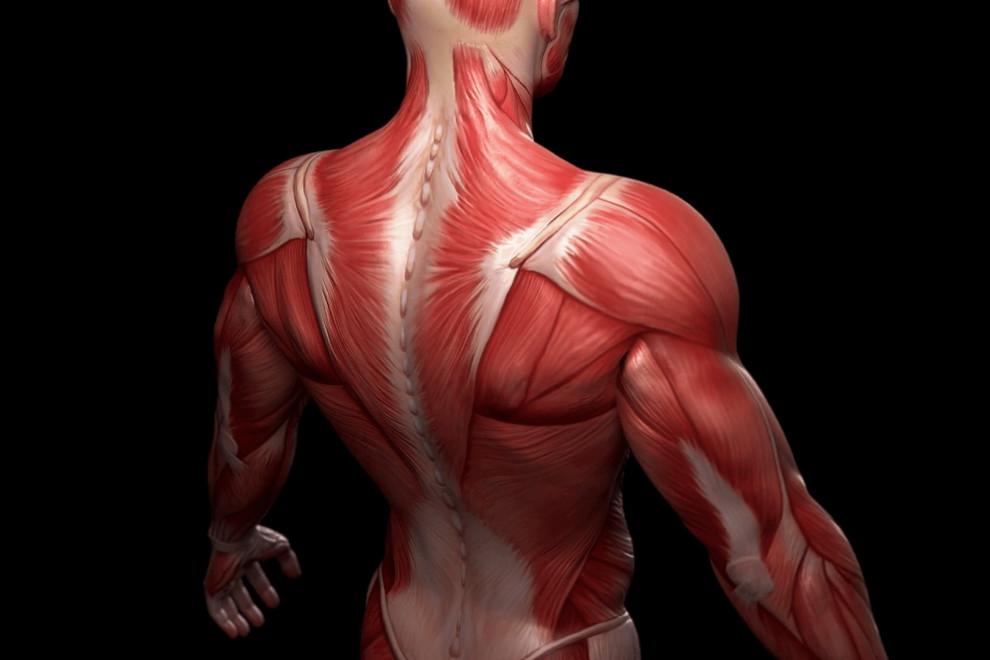 Partes músculos