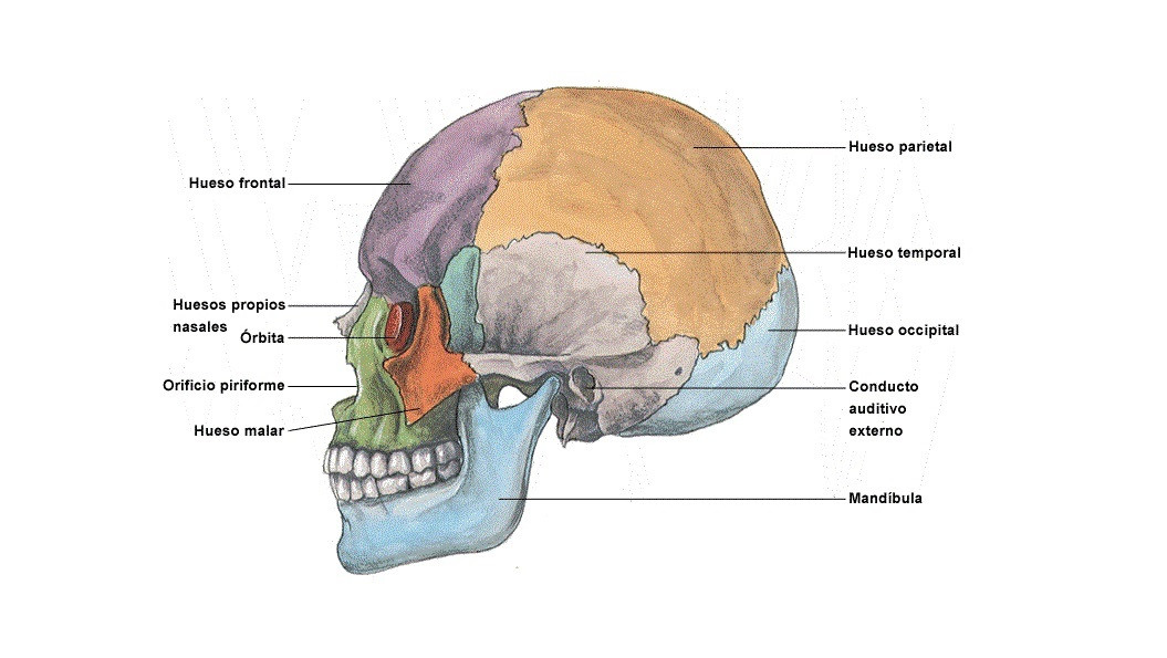 Huesos Del Cráneo Y La Cabeza Cuáles Son Y Qué Función Tienen