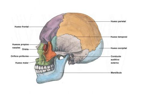Huesos del cráneo y la cabeza