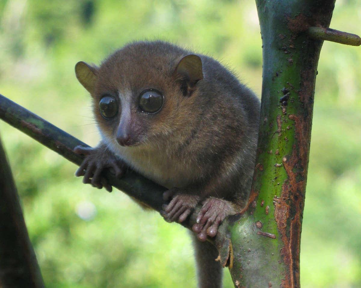 lemur-raton