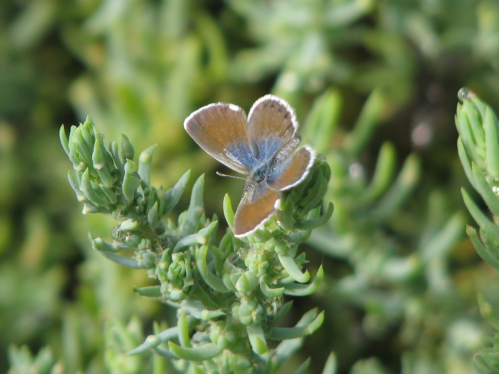 mariposa-pigmea