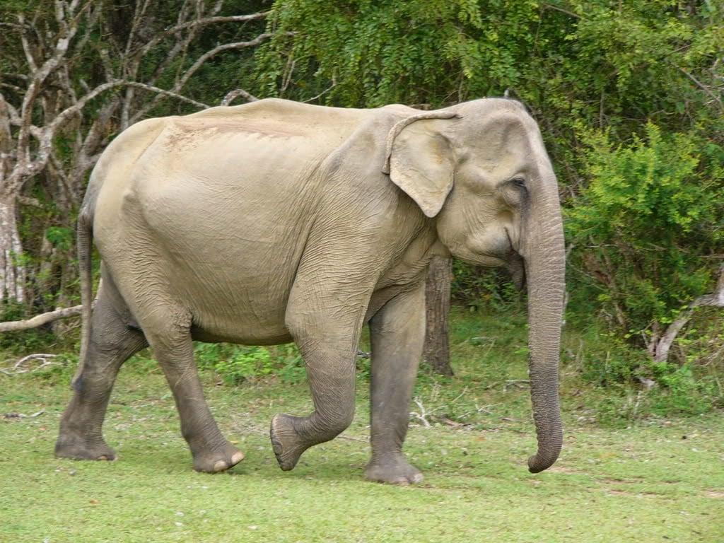 El elefante asiático
