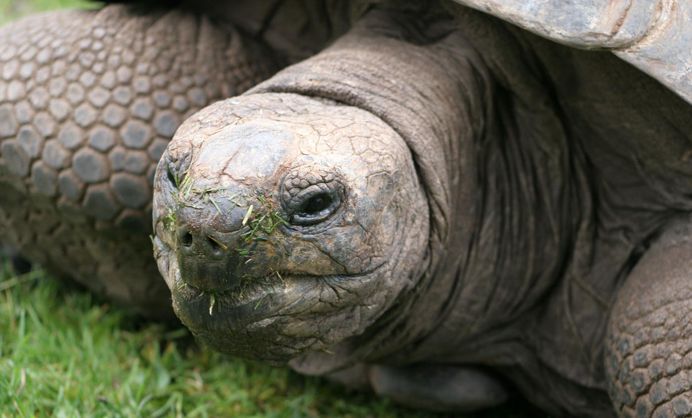 tortuga-gigante-aldabra
