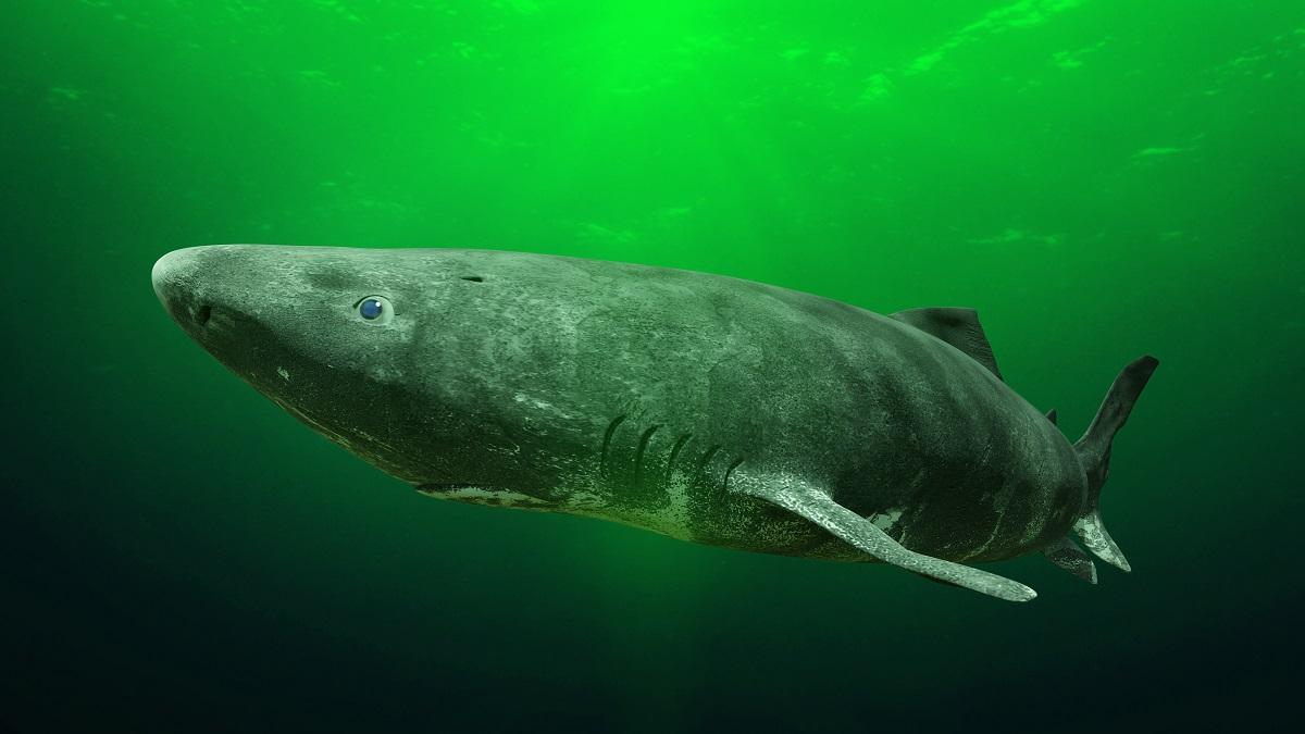 tiburon-groenlandia
