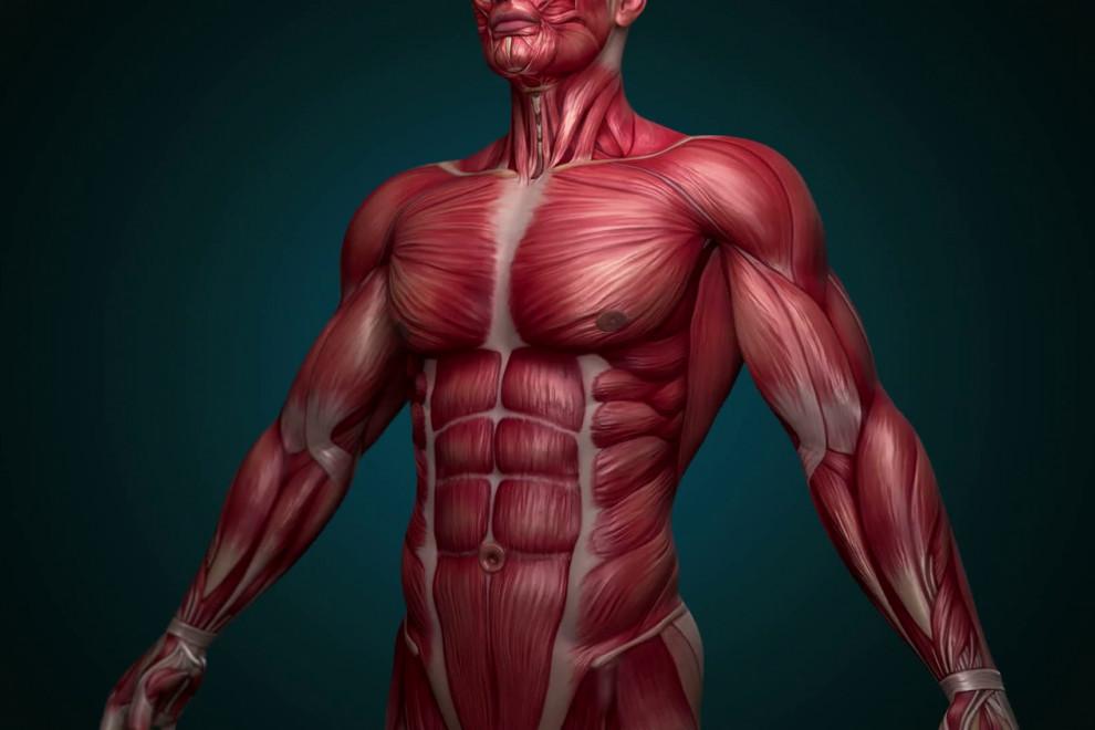 Tipos músculos