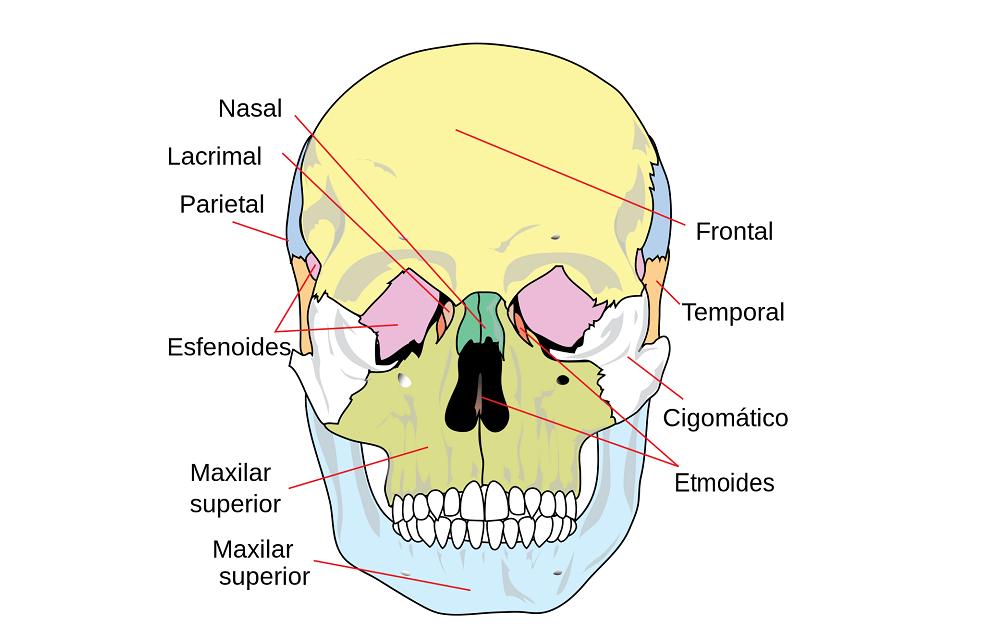 Huesos del viscerocráneo