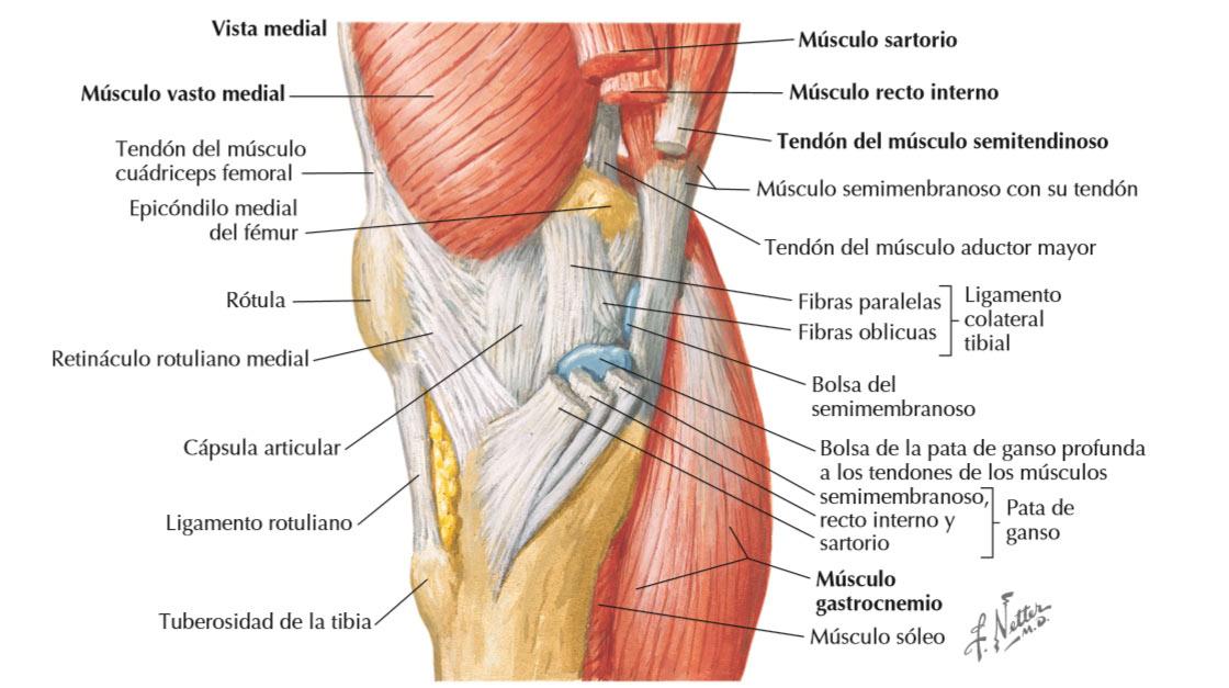 Rodilla tendones