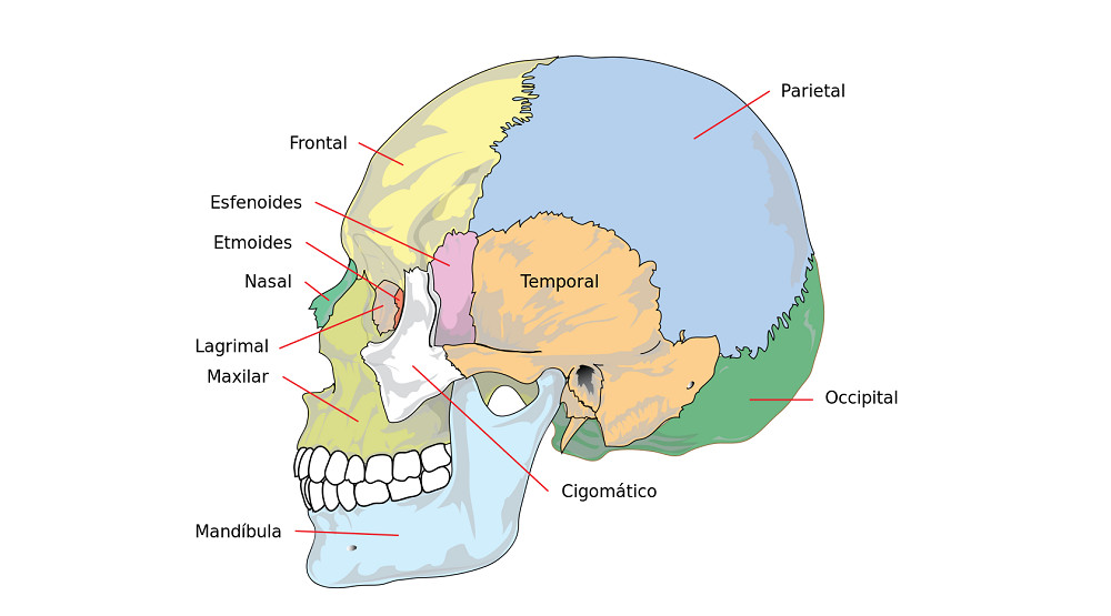 Huesos cráneo y cabeza