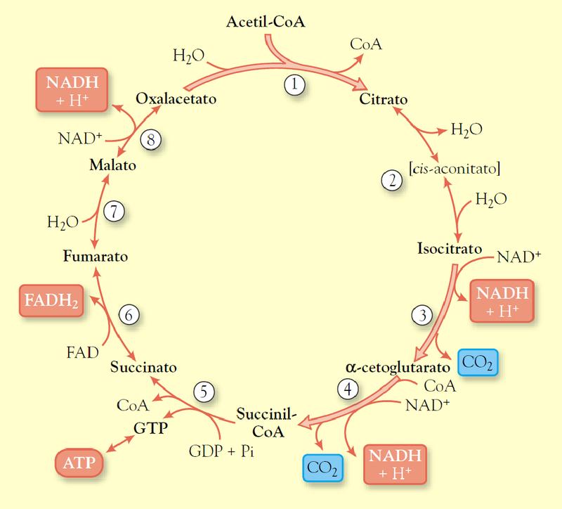 Ciclo de Krebs (ruta)