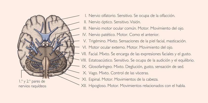 Pares craneales anatomía