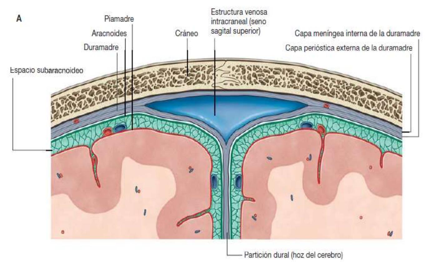 meninges neuroanatomía