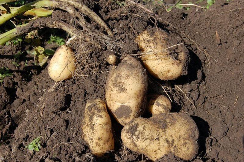 Patatas tallo