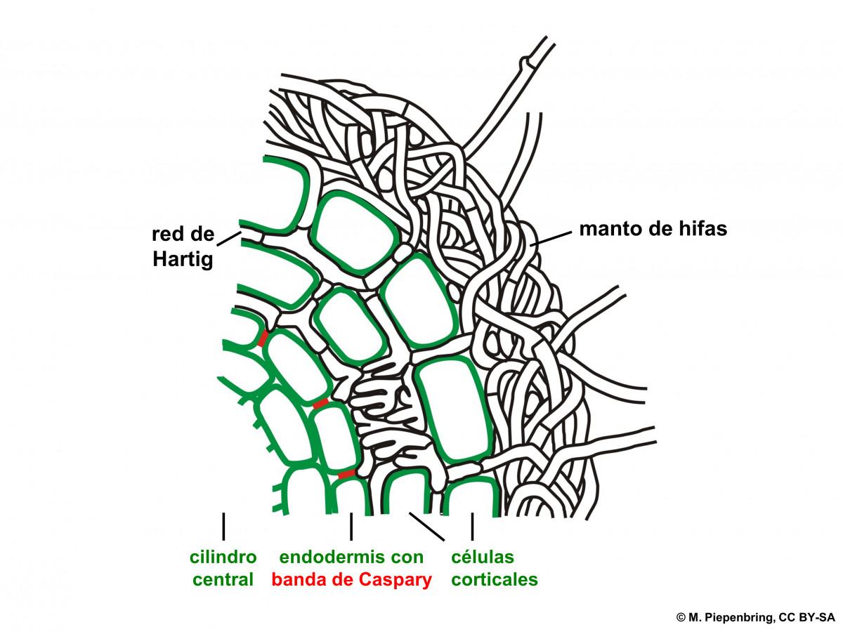 ectomicorriza